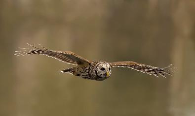 Barred Owl, flt, Jan, FL.jpg