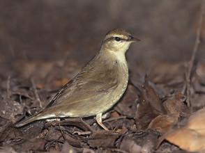 Swainson's Warbler, adult, April, FL - C
