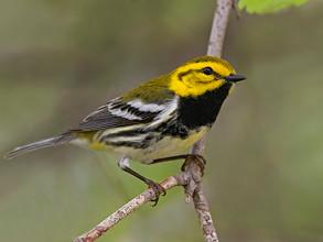 Black-throated Green Warbler, male, Ohio