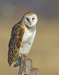 Barn Owl, male, OR, Feb.jpg