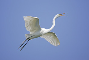 Great Egret adult flight.jpg