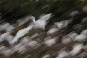 wading bird blur, FL, Jan.jpg