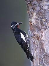 Williamson's Sapsucker, male, CO, June.j