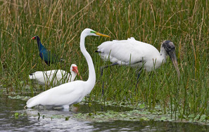 Wood Stork with other wading birds