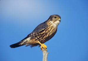 Merlin, ad male columbarius, NJ, Oct.jpg