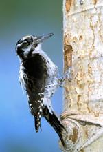 Northern Three-toed Woodpecker, interior