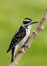 Hairy Woodpecker, female, BC, June.jpg
