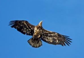 Bald Eagle, immature, AK, May.jpg