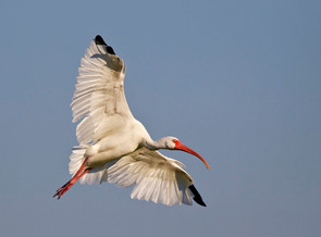 White Ibis, adult, FL, Sep.jpg