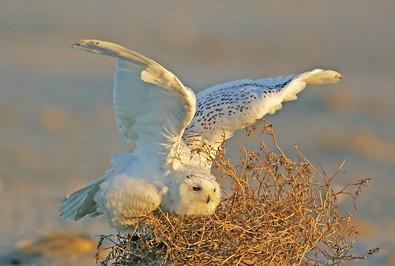 Snowy Owl, Stone Harbor, NJ, Dec.jpg
