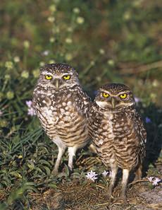 Burrowing Owls, FL, April.jpg