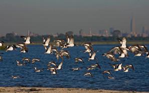 American Oystercatcher flock