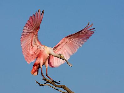 Ibis, Spoonbill & Flamingo