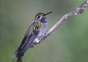 Blue-throated Hummingbird, AZ, July.jpg