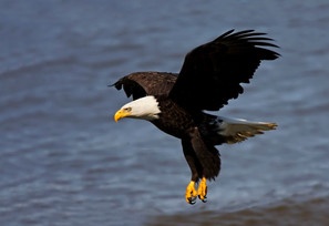 Bald Eagle, adult, May.jpg