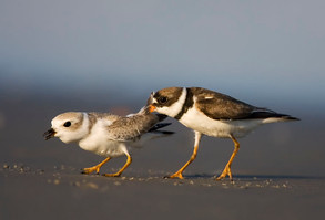 Piping Plover (l) and Semipalmated Plover