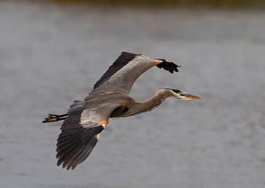 Great Blue Heron flight, Feb, FL.jpg