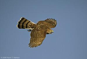 Cooper's Hawk, Sep 06 NJ.jpg