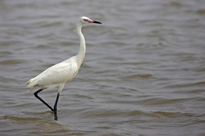 Reddish Egret, white morph breeding, TX,
