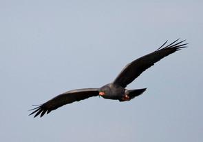 Snail Kite, adult male flight, FL, Feb.j