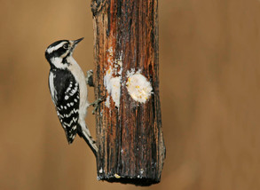 Downy Woodpecker 2, female, NJ, Dec.jpg