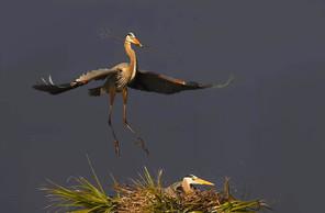 Great Blue Heron nest, Jan, FL.jpg