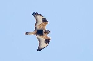 Rough-legged Hawk, SY female, Oct 30, Ca