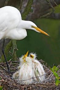 Great Egret and chicks, FL, April.jpg