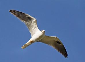 White-tailed Kite, TX, Nov.jpg