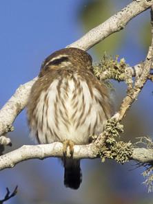 Ferruginous Pygmy Owl, fake eyes on rear