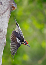 Red-naped Sapsucker exiting nest hole, B