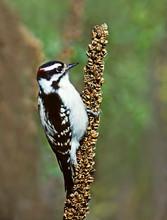 Downy Woodpecker, male, NY, Sep.jpg