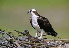 Osprey w chick at nest, NJ.jpg