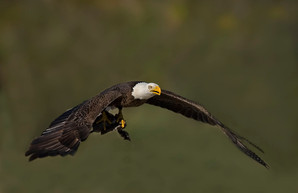 Bald Eagle with waterfowl prey, FL, Jan.