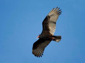 Turkey Vulture, adult flight, FL, Feb.jp