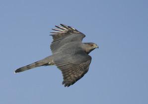 Cooper's Hawk, male AHY maybe, Oct NJ.jp