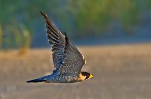 Peregrine Falcon 2, adult, NJ, Sep.jpg