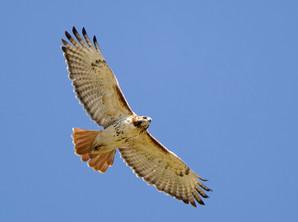 Red-tailed Hawk, adult, Ohio, Sept.jpg
