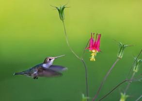 Ruby-throated Hummingbird female.jpg