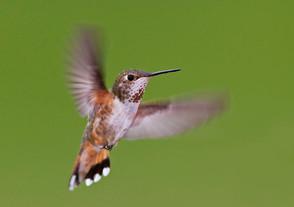 Rufous Hummingbird, ad female, BC, June.