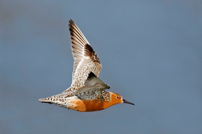 Red Knot, Reeds Beach, Cape May County N