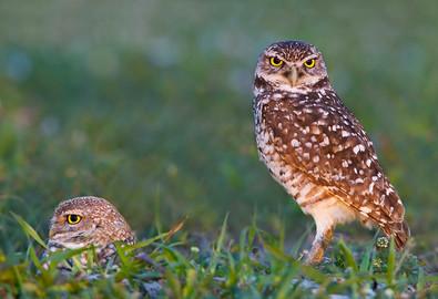 Burrowing Owls at burrow, FL, March.jpg
