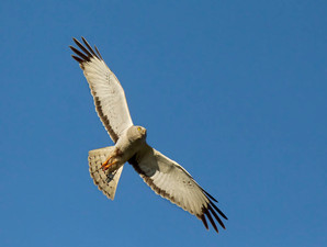 Northern Harrier, adult male