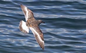 Surfbird breeding flt, AK, May.jpg