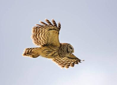 Barred Owl flt, FL, Feb.jpg