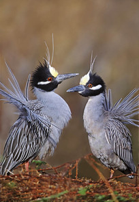 Yellow-crowned Night Herons, courtship d