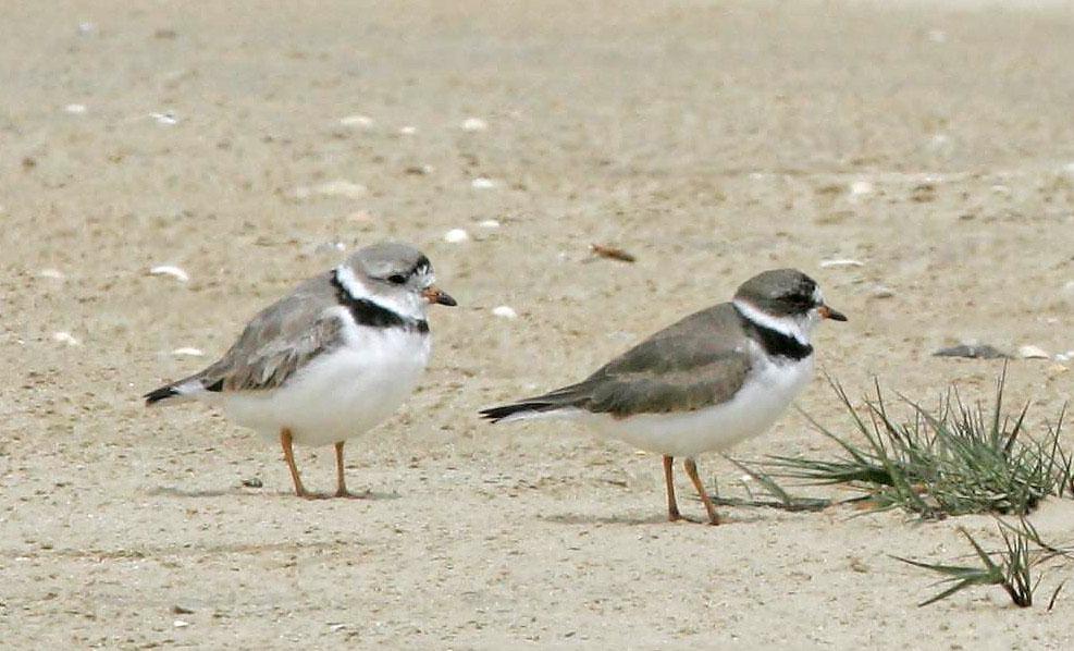 Shorebirds by Impression