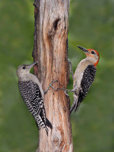 Red-bellied Woodpecker, male and juvenil