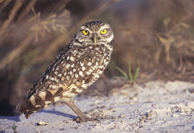 Burrowing Owl, April, FL.jpg