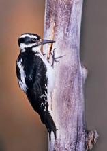 Hairy Woodpecker, interior west, CO, Jul